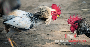 An organized fight between two male chickens